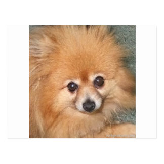 Pomeranian lindo hace frente tarjeta postal