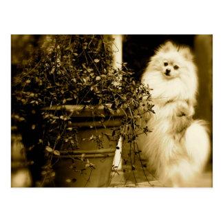 Pomeranian lindo postal