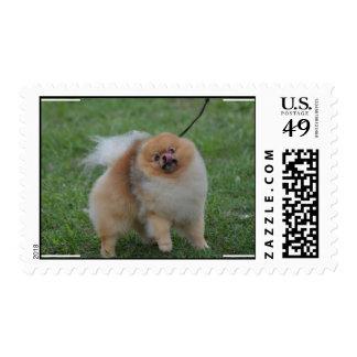 Pomeranian lindo