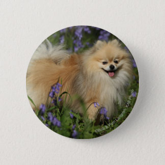 Pomeranian Looking at Camera in the Bluebells Pinback Button