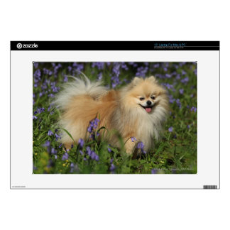 """Pomeranian Looking at Camera in the Bluebells Skins For 15"""" Laptops"""