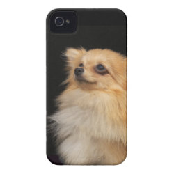 Pomeranian looking up on black Case-Mate iPhone 4 case