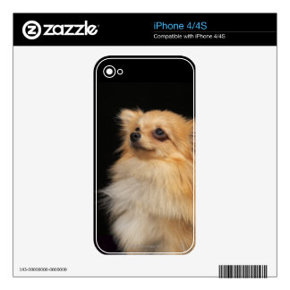 Pomeranian looking up on black iPhone 4S decal
