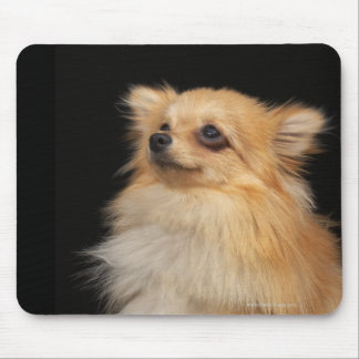 Pomeranian looking up on black mouse pad