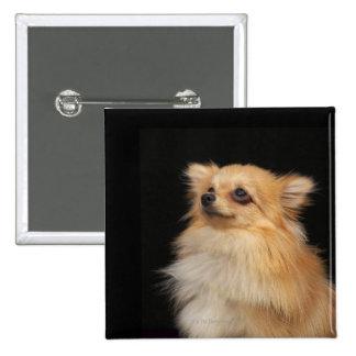 Pomeranian looking up on black pinback button