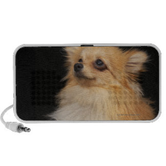 Pomeranian looking up on black portable speaker