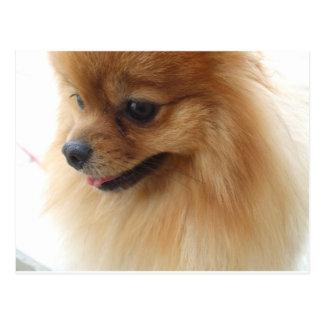 Pomeranian Lover Postcard