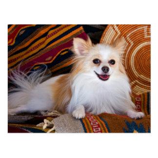Pomeranian Lying On Blankets Postcard