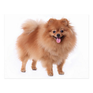 Pomeranian Puppy Dog Blank Post Card