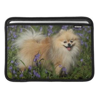 Pomeranian que mira la cámara en los Bluebells Fundas Macbook Air