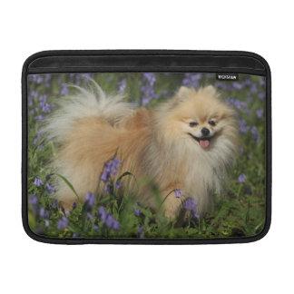 Pomeranian que mira la cámara en los Bluebells Funda MacBook
