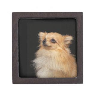 Pomeranian que mira para arriba en negro cajas de recuerdo de calidad