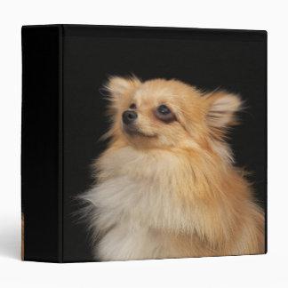 Pomeranian que mira para arriba en negro