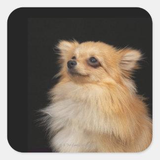 Pomeranian que mira para arriba en negro colcomania cuadrada