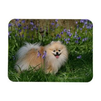 Pomeranian que se coloca de mirada de la cámara iman de vinilo