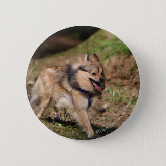 Pomeranian Running with Harness on Button