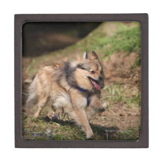 Pomeranian Running with Harness on Premium Trinket Boxes