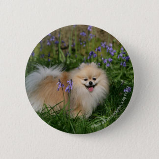 Pomeranian Standing Looking at Camera Button