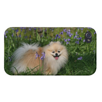 Pomeranian Standing Looking at Camera Cover For iPhone 4