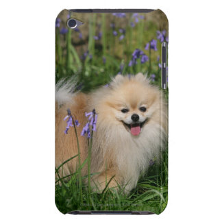 Pomeranian Standing Looking at Camera iPod Case-Mate Case
