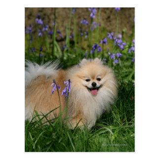 Pomeranian Standing Looking at Camera Postcard