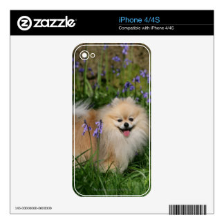 Pomeranian Standing Looking at Camera Skins For iPhone 4