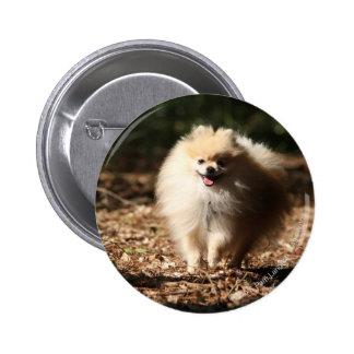 Pomeranian Trotting in the Fallen Leaves Pinback Button