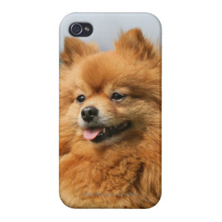 Pomeranian Watching iPhone 4 Cases