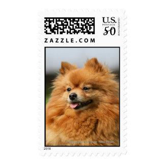 Pomeranian Watching Postage