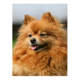 Pomeranian Watching Postcard