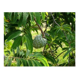 Pomme Cannelle - Martinique, FWI Postcard
