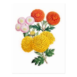 Pompon Chrysanthemums Postcard