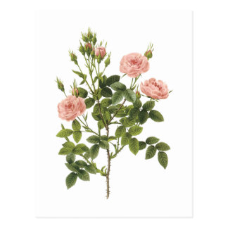 pompon rose (Rosa pomponia) by Redouté Post Card