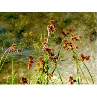 Pond shore plants, spiked puffs on stems photo photo cutout