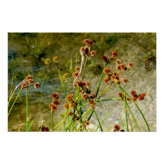 Pond shore plants, spiked puffs on stems photo poster