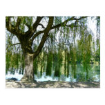 Pond through the Weeping Willow Tree Post Card