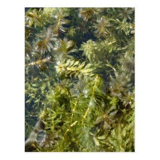 "Pond Weed (or, ""Lush Pond Plantlife"") Postcard"