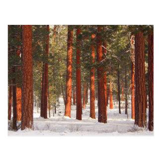 ponderosas winter ktk_MG_1730 8x10 Postcard