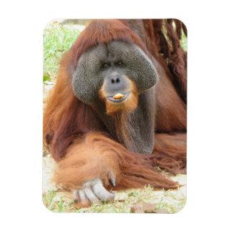Pongo Orangutan Ape Premium Magnet Magnet