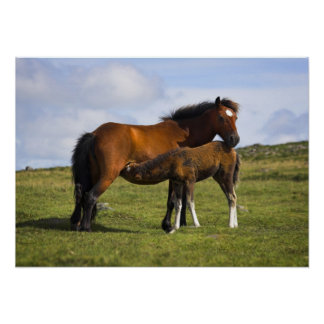 Pony Mare Feeding Foal poster print