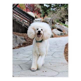Poodle - Brulee - Trainer Postcard