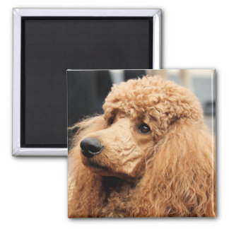 Poodle Day 2010 #19 2 Inch Square Magnet