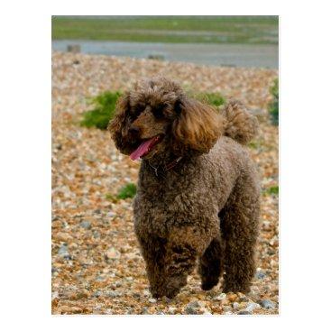 Beach Themed Poodle dog miniature beautiful photo at beach postcard
