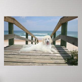 Poodle On Boardwalk Poster