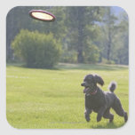 Poodle playing frisbee square stickers