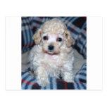 Poodle puppy GOT POO? Postcards