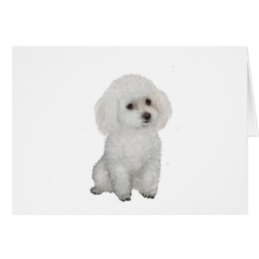 Poodle - white 1 greeting cards