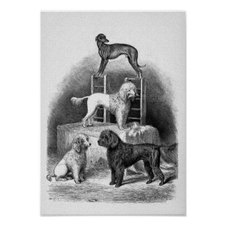 """Poodles and a Whippet"" Poster"