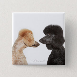 Poodles examining each other button