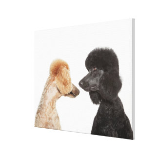 Poodles examining each other canvas print